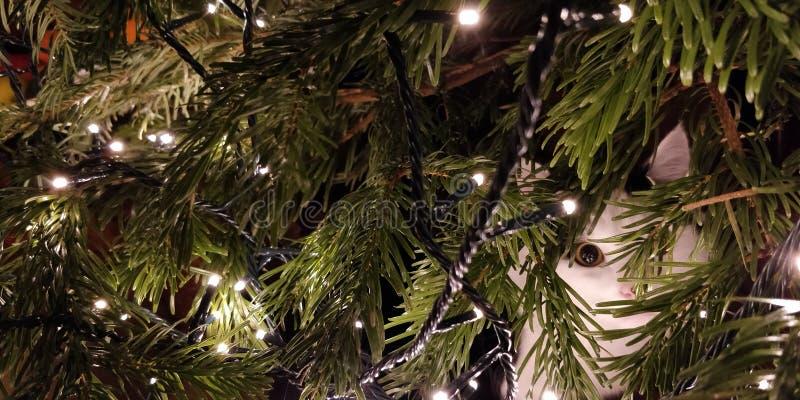Gato que oculta en árbol de navidad fotografía de archivo