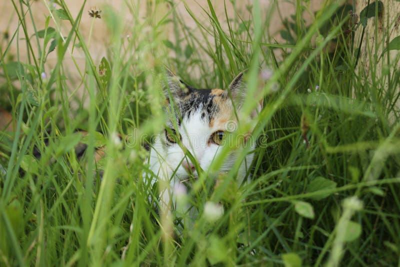 gato que oculta en hierba alta foto de archivo libre de regalías