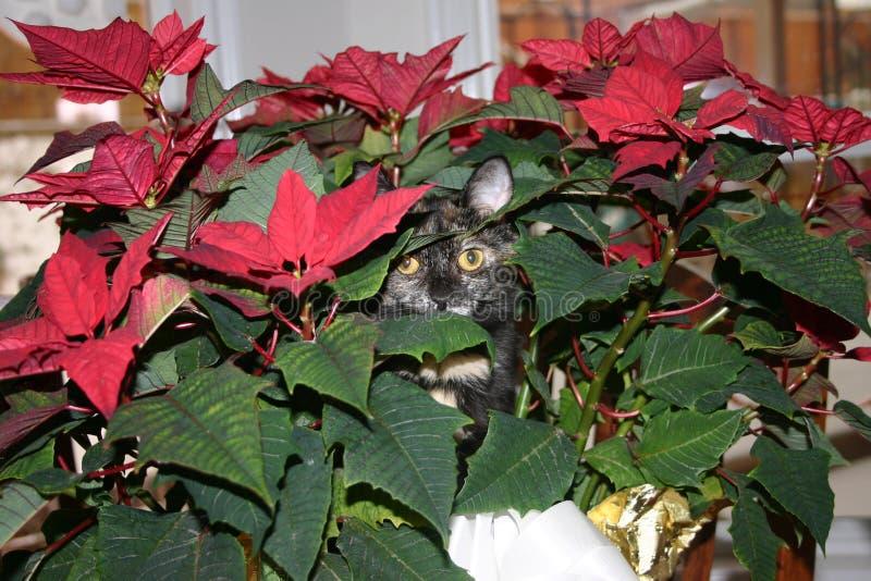 Gato que oculta en poinsetia imagen de archivo