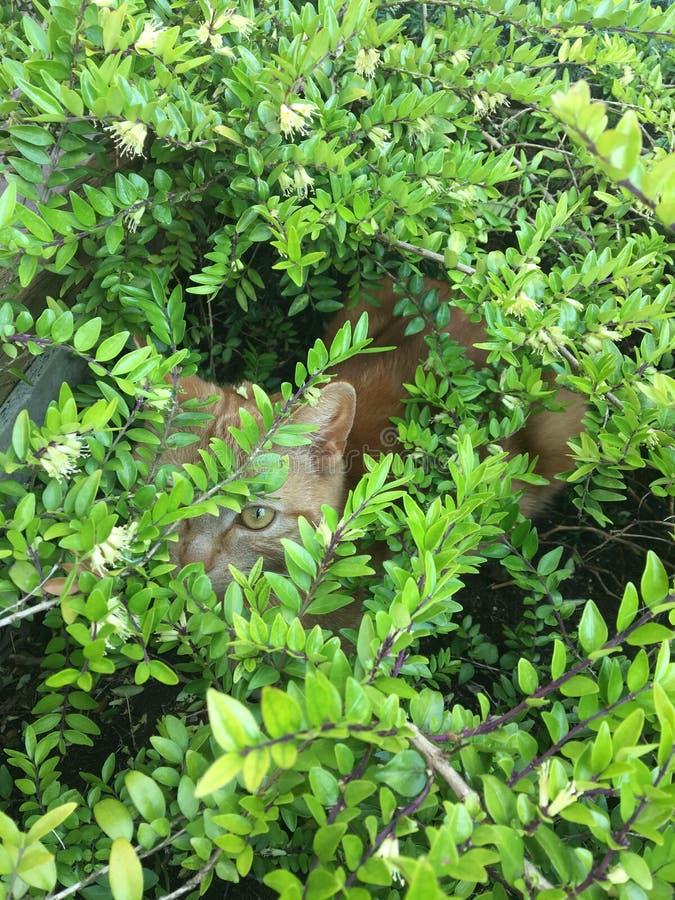 Gato que oculta en un arbusto fotos de archivo libres de regalías