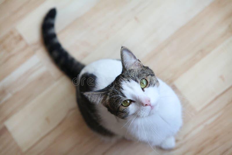 Gato Que Olha Acima Foto de Stock