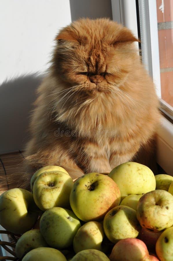 Gato que olha em maçãs imagens de stock royalty free