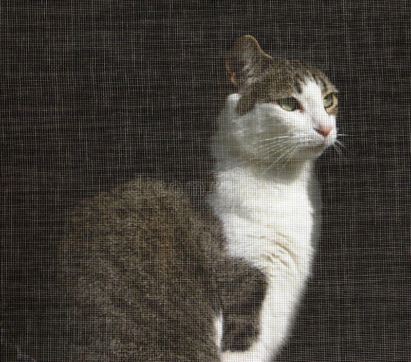 Gato que olha fora do indicador selecionado fotografia de stock royalty free