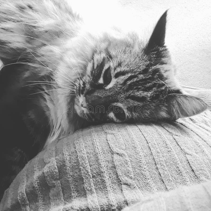 Gato que pone en el vientre embarazada fotografía de archivo libre de regalías