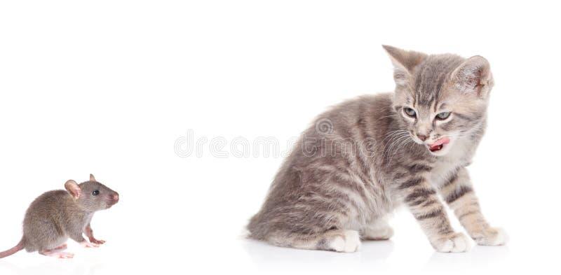 Gato que presta atenção a um rato fotografia de stock royalty free