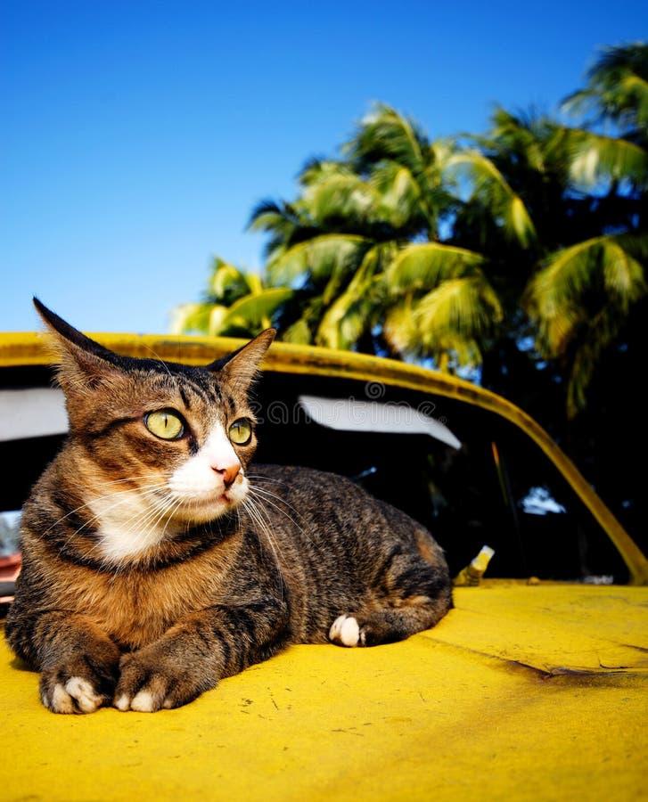Gato que relaxa o conceito tropical da ilha do carro clássico velho imagens de stock royalty free