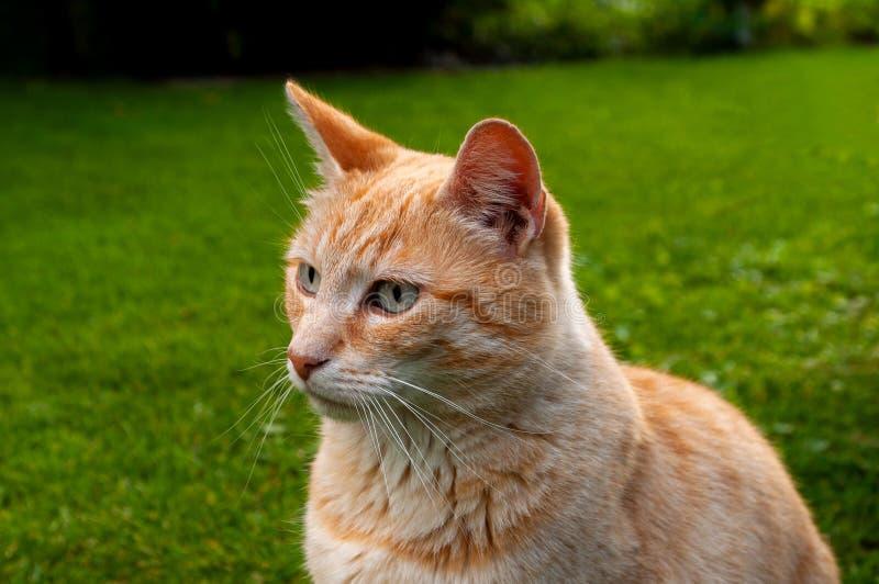 Gato que se sienta en la hierba que mira izquierda de la cámara foto de archivo