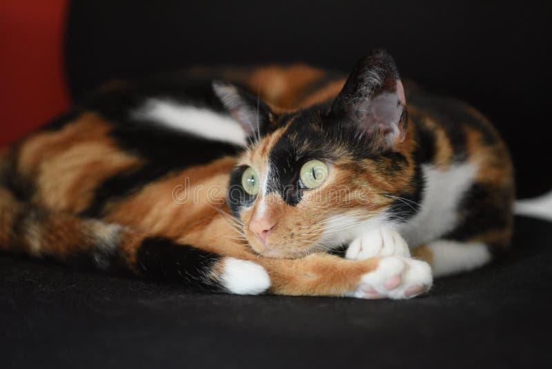 Gato que se sienta observador en estado del zen foto de archivo