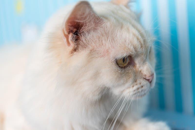 Gato que senta e que olha algo quando curso foto de stock royalty free
