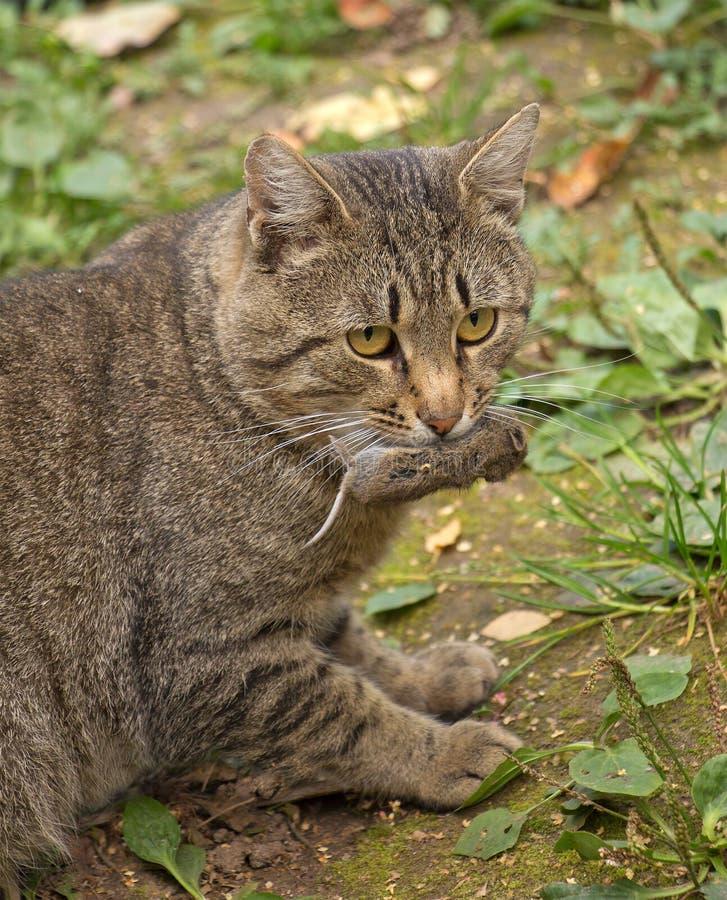 Download Gato Que Sostiene Un Ratón Muerto En Boca Foto de archivo - Imagen de ratón, carnívoro: 44852428