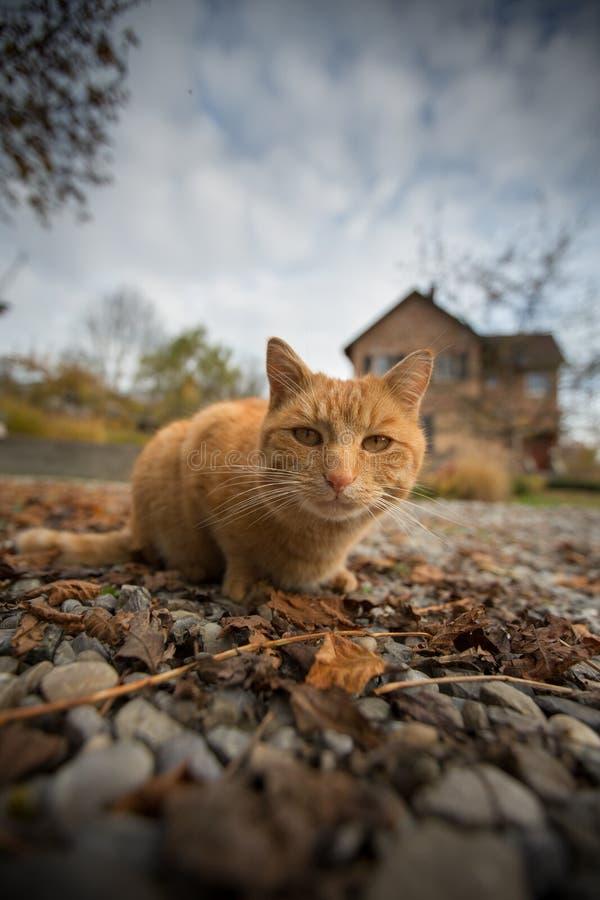 Gato que vagueia no jardim da frente fotografia de stock