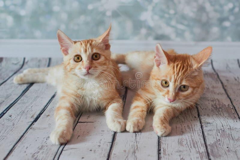 Gato rabicorto del americano imagen de archivo