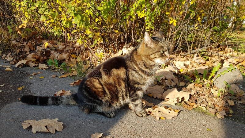 Gato rayado con las hojas de otoño imagen de archivo libre de regalías