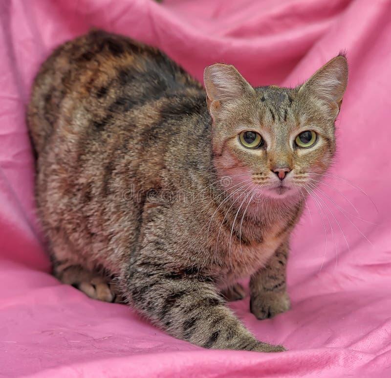 gato rayado con un oído acortado imagen de archivo libre de regalías