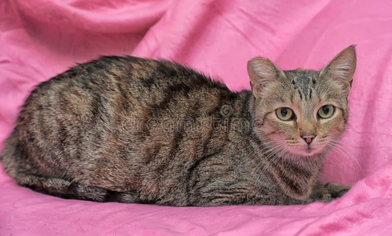 gato rayado con un oído acortado imagenes de archivo