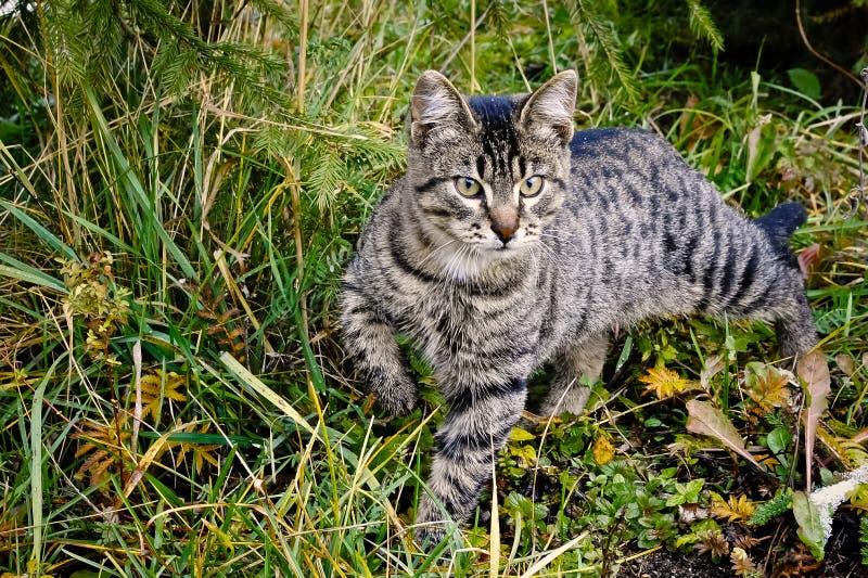 Gato rayado en la caza imagen de archivo