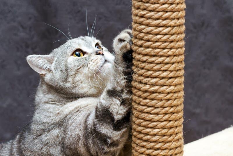 Gato rayado escocés del shorthair gris que rasguña el poste marrón fotos de archivo
