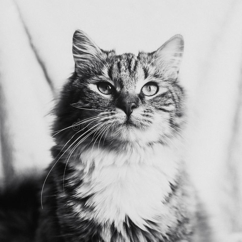 Gato rayado marrón lindo que mira para arriba el retrato en blanco y negro imagen de archivo libre de regalías