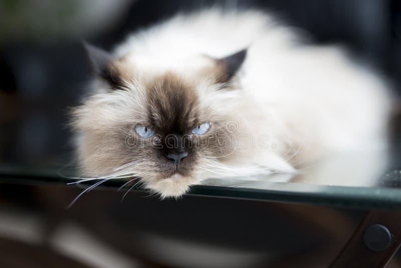 Download Gato real imagen de archivo. Imagen de puro, azul, lindo - 41915773