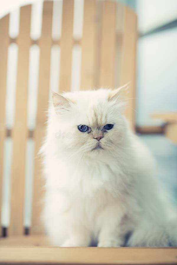 Download Gato real foto de archivo. Imagen de persa, punta, azul - 41915776