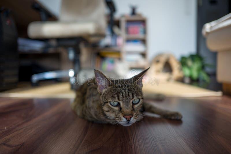 Gato relajado de Savanah imagen de archivo