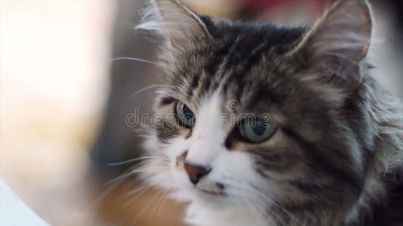 Gato Retrato del cierre gris hermoso del gato para arriba Gato con los eays verdes, ascendente cercano de la cara Retrato de un g fotografía de archivo