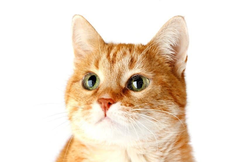 Gato rojo adulto aislado en el fondo blanco, bozal del ` s del gato imágenes de archivo libres de regalías