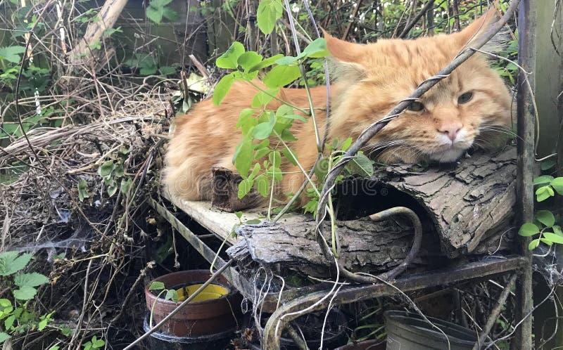 Gato rojo adulto grande Maine Coon por tarde en jard?n soleado fotografía de archivo libre de regalías