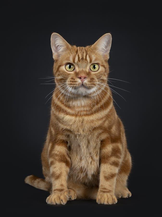 Gato rojo adulto joven adorable de Shorthair del americano del gato atigrado, aislado en un fondo negro imagen de archivo