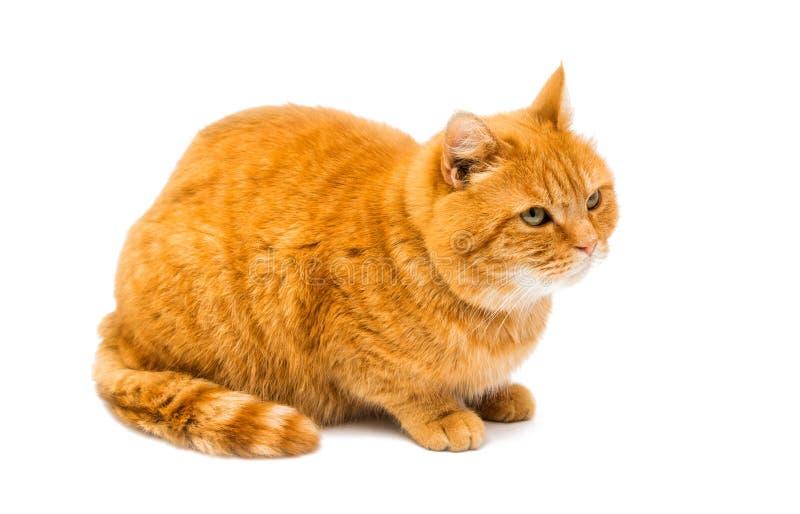 Gato rojo aislado imagen de archivo libre de regalías