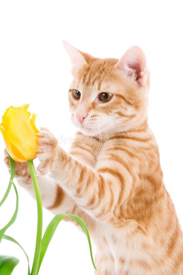 Gato rojo aislado en un blanco foto de archivo libre de regalías