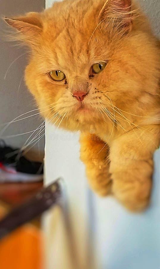 Gato rojo aislado Ginger Cat Looking fotografía de archivo
