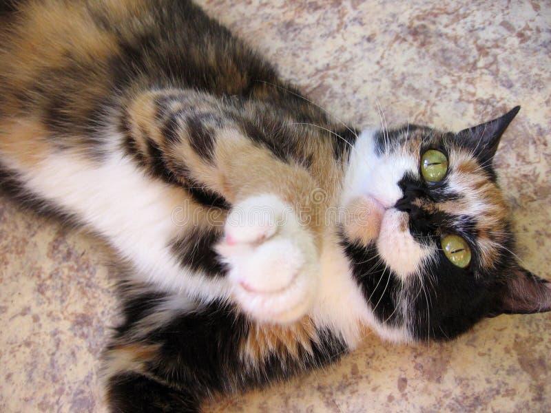 Gato rojo colorido con los puntos blancos negros que mienten en el piso fotos de archivo