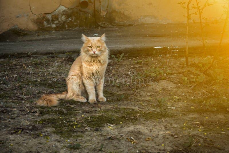 Gato rojo de la calle, en la yarda fotografía de archivo