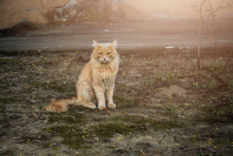 Gato rojo de la calle, en la yarda fotos de archivo libres de regalías