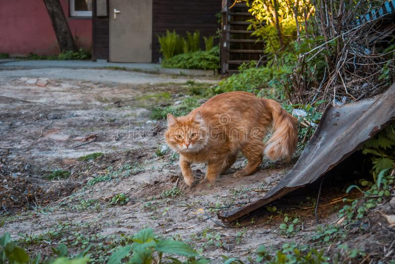 Gato rojo de la calle, en la yarda foto de archivo libre de regalías