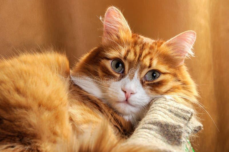 gato Rojo-dirigido imágenes de archivo libres de regalías