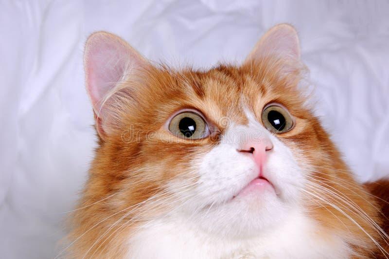 gato Rojo-dirigido fotos de archivo libres de regalías