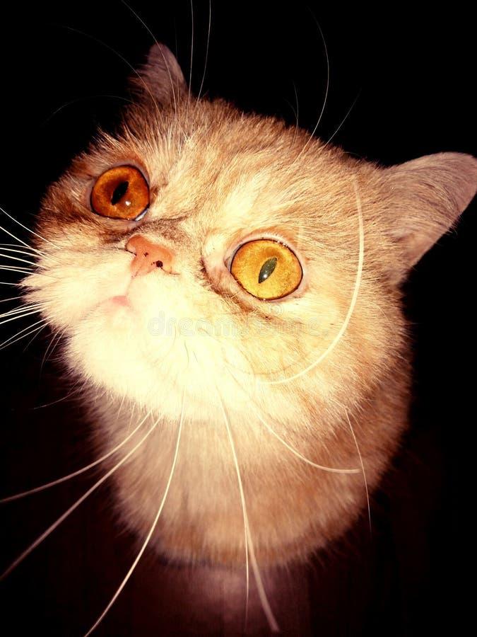 gato Rojo-dirigido fotos de archivo