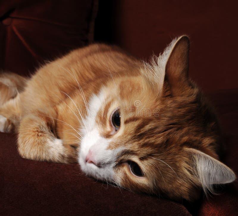 gato Rojo-dirigido imagen de archivo libre de regalías