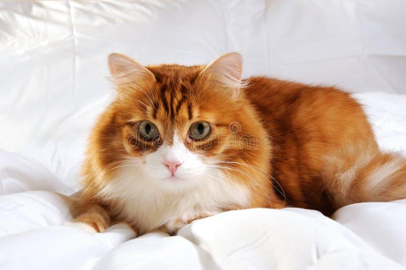 Gato rojo-dirigido mullido imagen de archivo