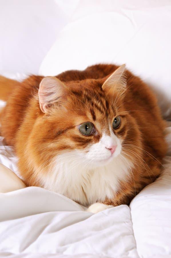 gato Rojo-dirigido imagenes de archivo