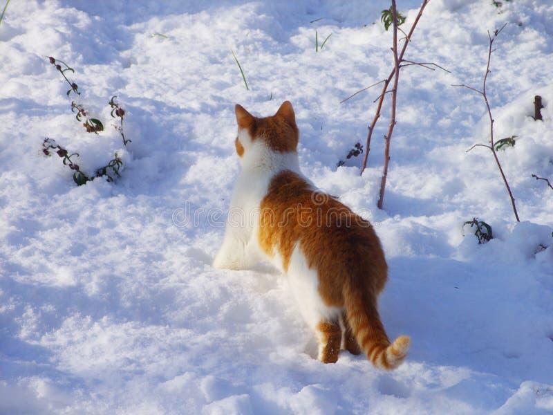 Gato rojo en la nieve imagen de archivo