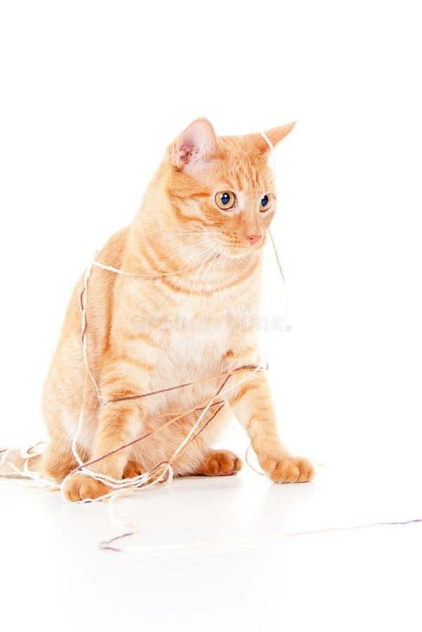 Gato rojo en una cuerda de rosca imagen de archivo