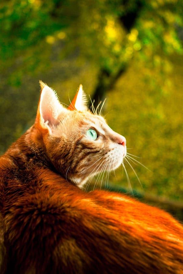 Gato rojo hermoso foto de archivo libre de regalías