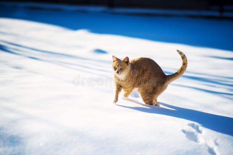 Gato rojo hermoso que camina en la nieve, invierno fotografía de archivo libre de regalías
