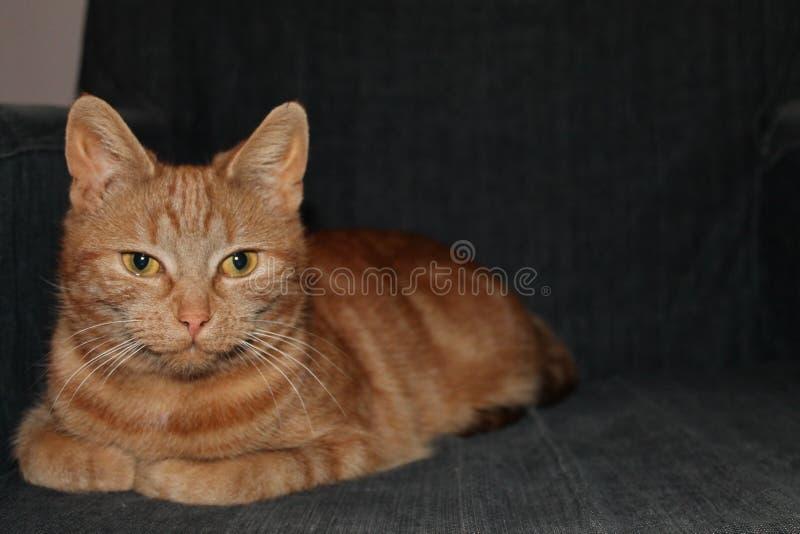 Gato rojo hermoso que presenta para la cámara fotos de archivo