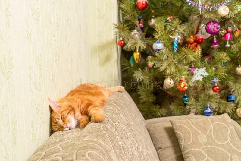 Gato rojo joven de la raza de Maine Coon que duerme encima del sofá cerca de d fotografía de archivo