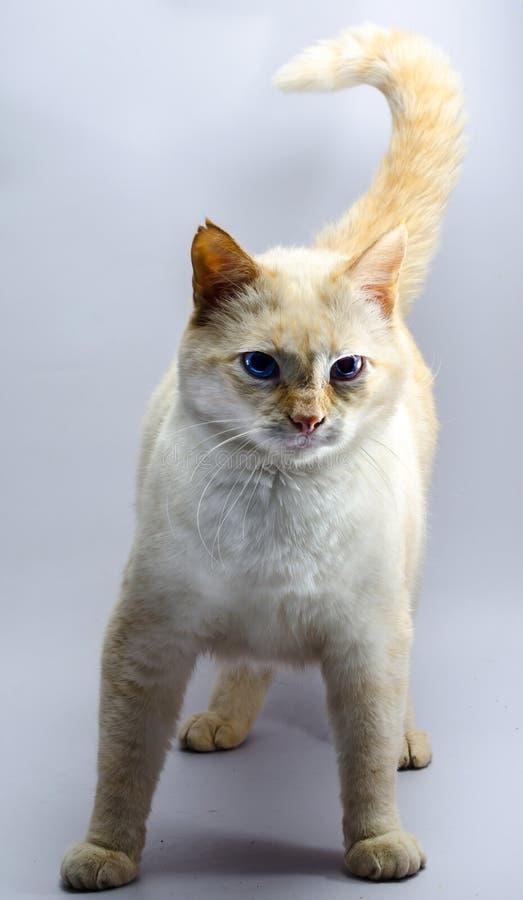 Gato rojo que amenaza con los ojos azules imagen de archivo libre de regalías
