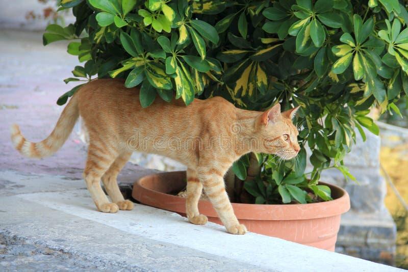 Gato rojo que camina abajo de la calle cerca de las plantas El gato es al aire libre Gatito grande rojo y blanco que camina a lo  imagenes de archivo